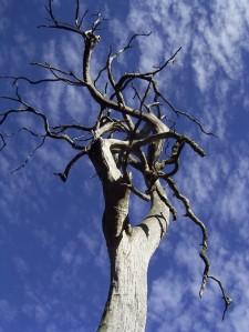 EucalyptusCrebra
