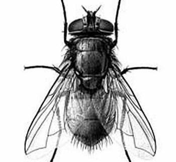 Blowfly Blo wfly